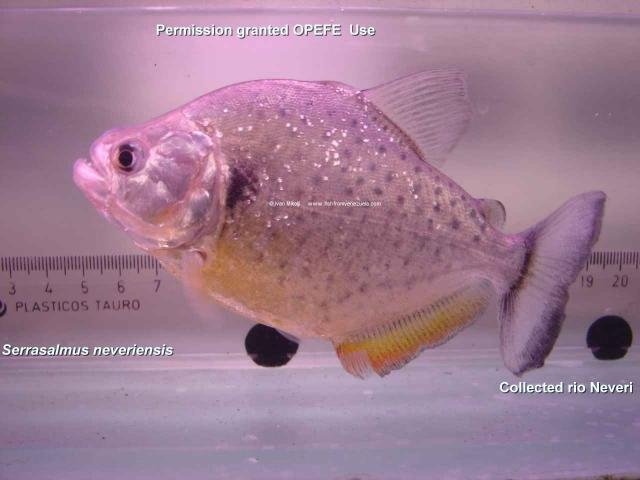 Serrasalmus-Neveriensis-1