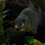 Serrasalmus-Rhombeus-2