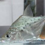 Serrasalmus-Rhombeus-24