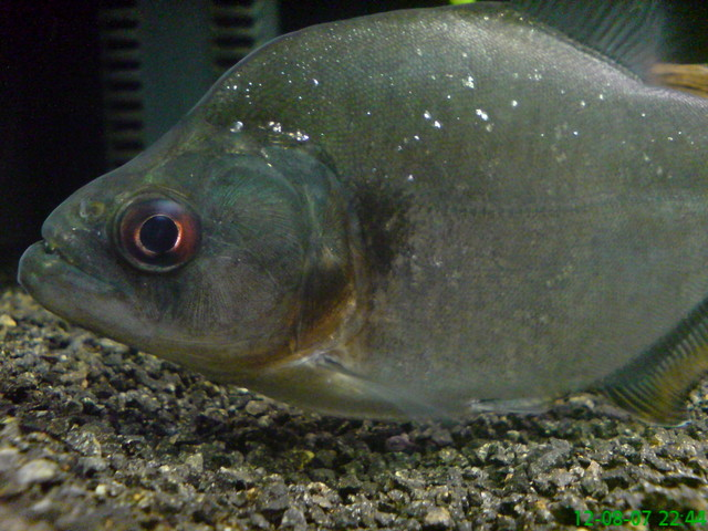 Serrasalmus-Rhombeus-26