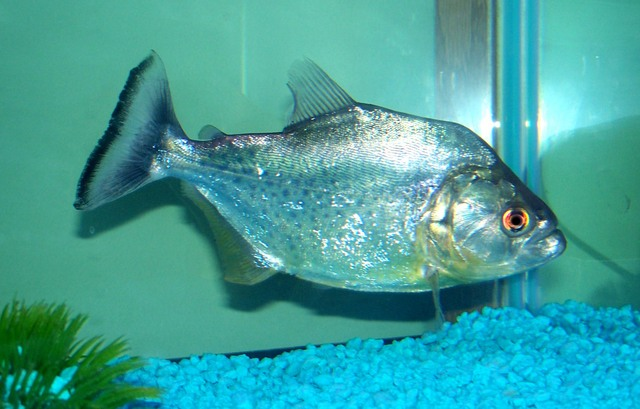 Serrasalmus-Rhombeus-36