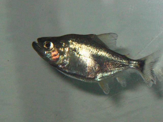 Serrasalmus-Rhombeus-49