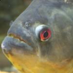 Serrasalmus-Rhombeus-50