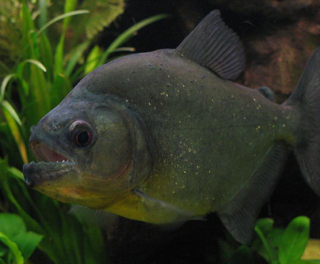 Serrasalmus-Rhombeus-53