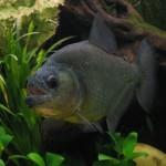 Serrasalmus-Rhombeus-54