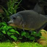 Serrasalmus-Rhombeus-55