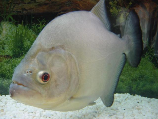 Serrasalmus-Rhombeus-63