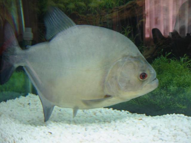 Serrasalmus-Rhombeus-64