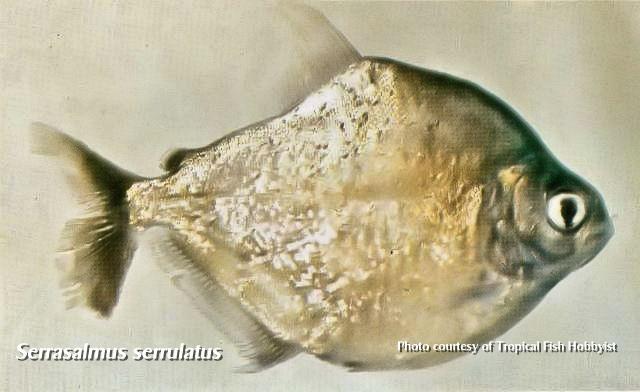 Serrasalmus-Serrulatus-3