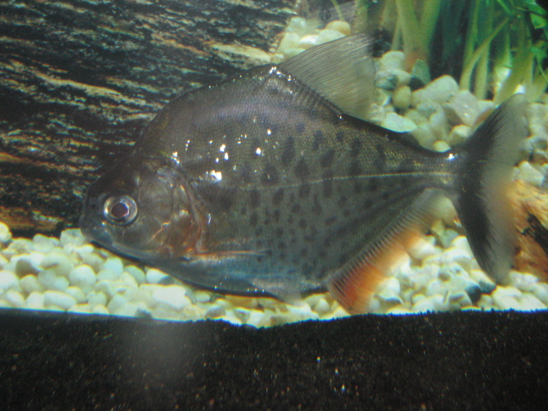 Serrasalmus-Serrulatus-5