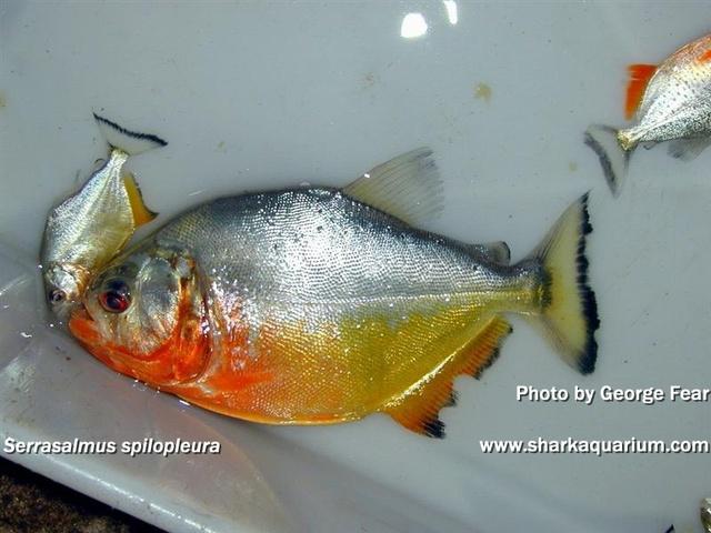 Serrasalmus-Spilopleura-2