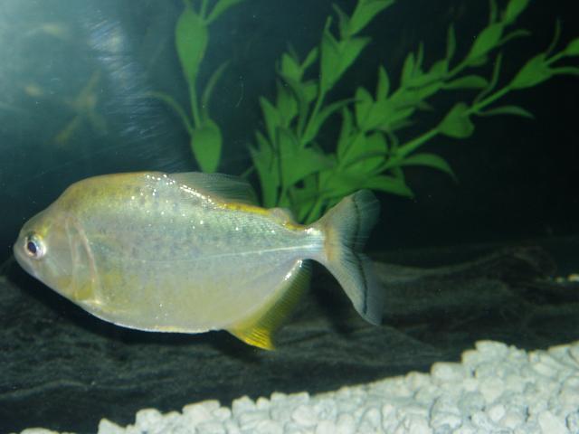 Serrasalmus-Spilopleura-8
